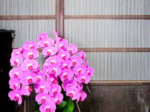 格子戸と胡蝶蘭