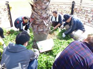 四つ葉のクローバー植え戻し作業中
